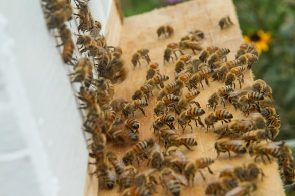 Bees On Front Of Hive