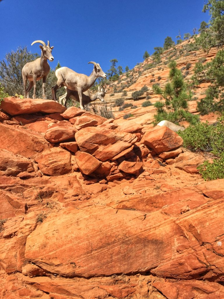 Bighorn Harem in Zion National Park