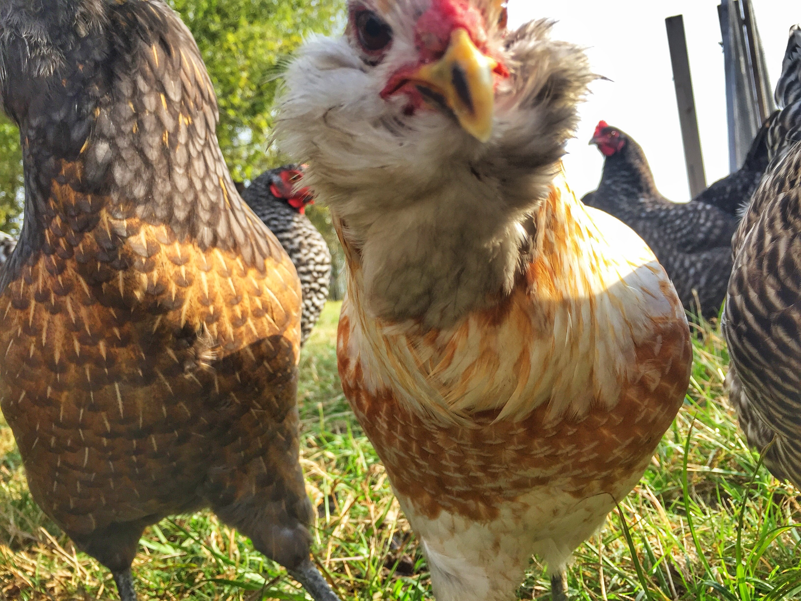Keeping Chickens – It's All About Small Victories
