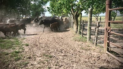 working cows