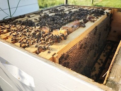 Opening bee hive early one morning to harvest honey
